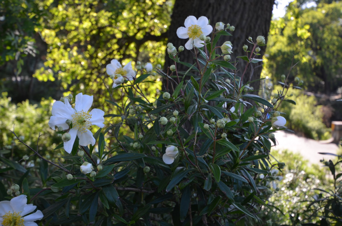 Carpenteria californica,