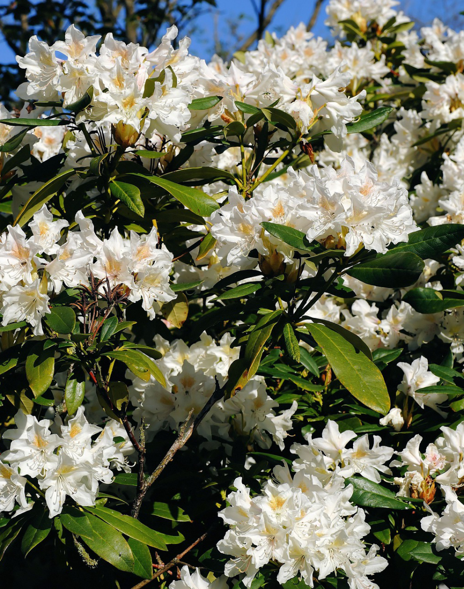 The Best Flowering Shrubs and Bushes in the U.S.