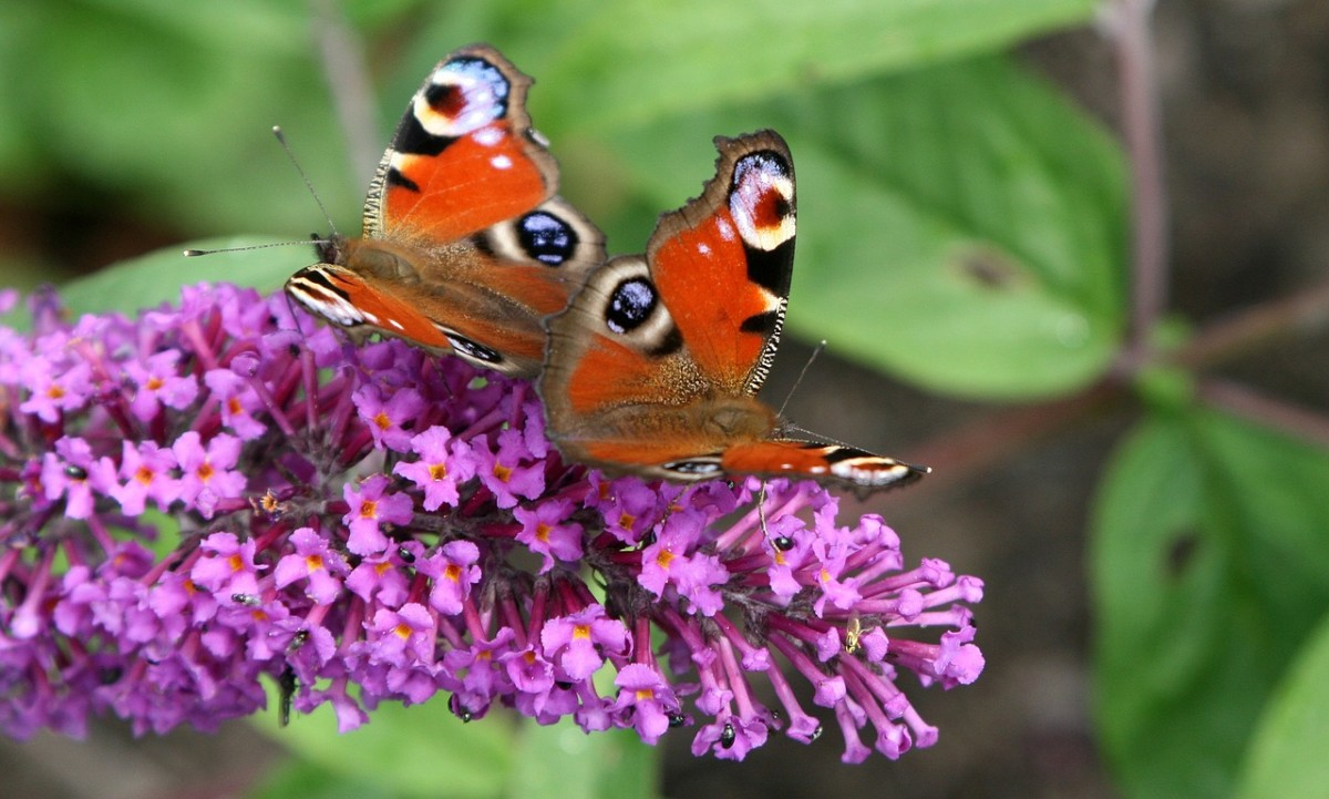 Butterflies on a purple variety of Buddleja