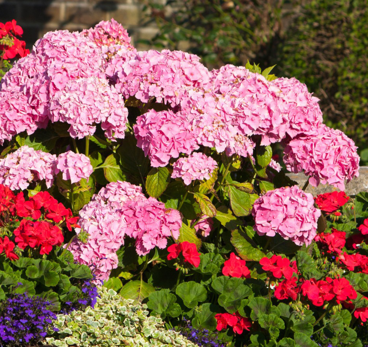 Hydrangeas can add great displays to borders.