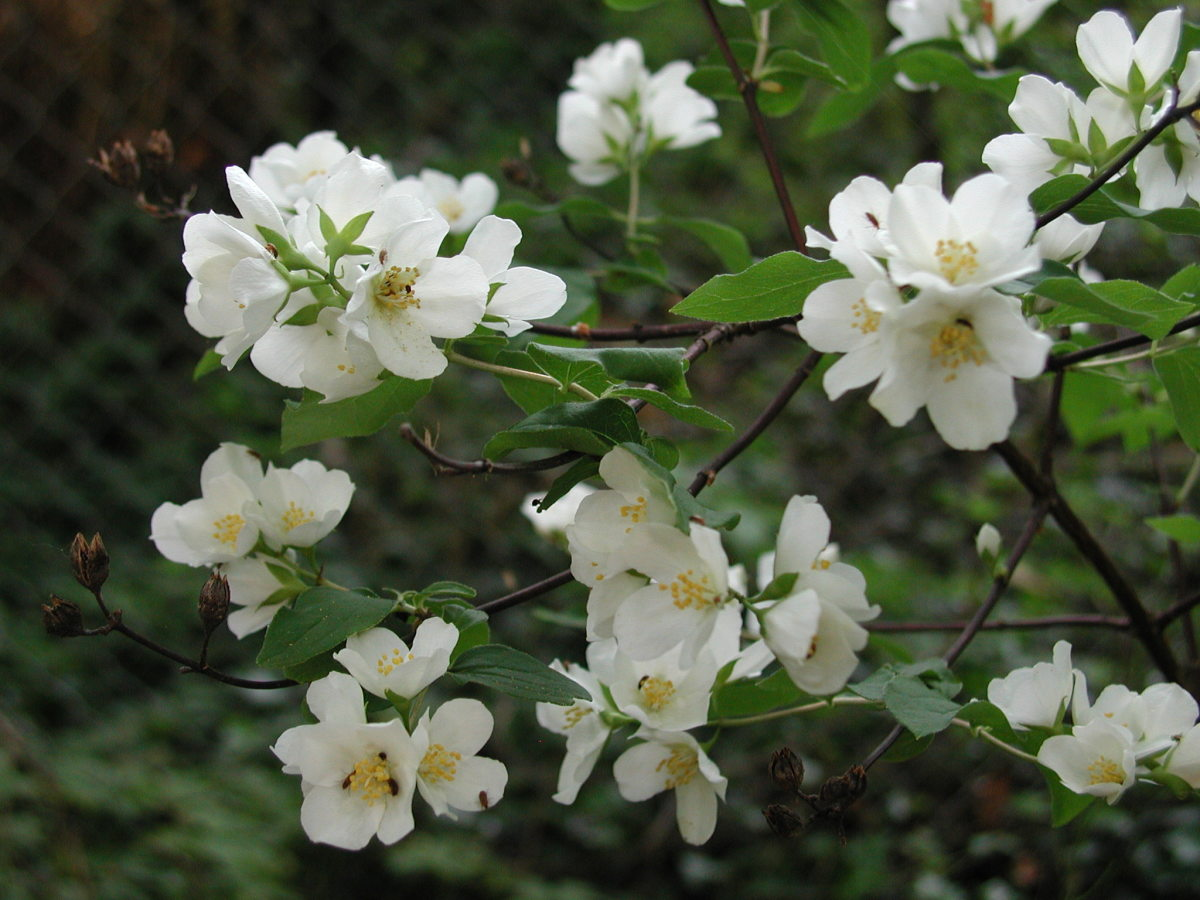 Mockorange (Philadelphus lewisii), the state flower of Idaho