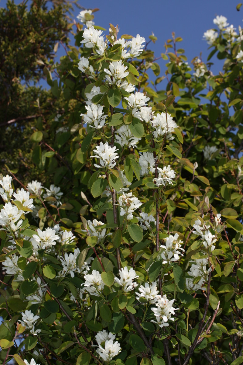 Western serviceberry (Amelanchier alnifolia), a native that can take a lot of cold