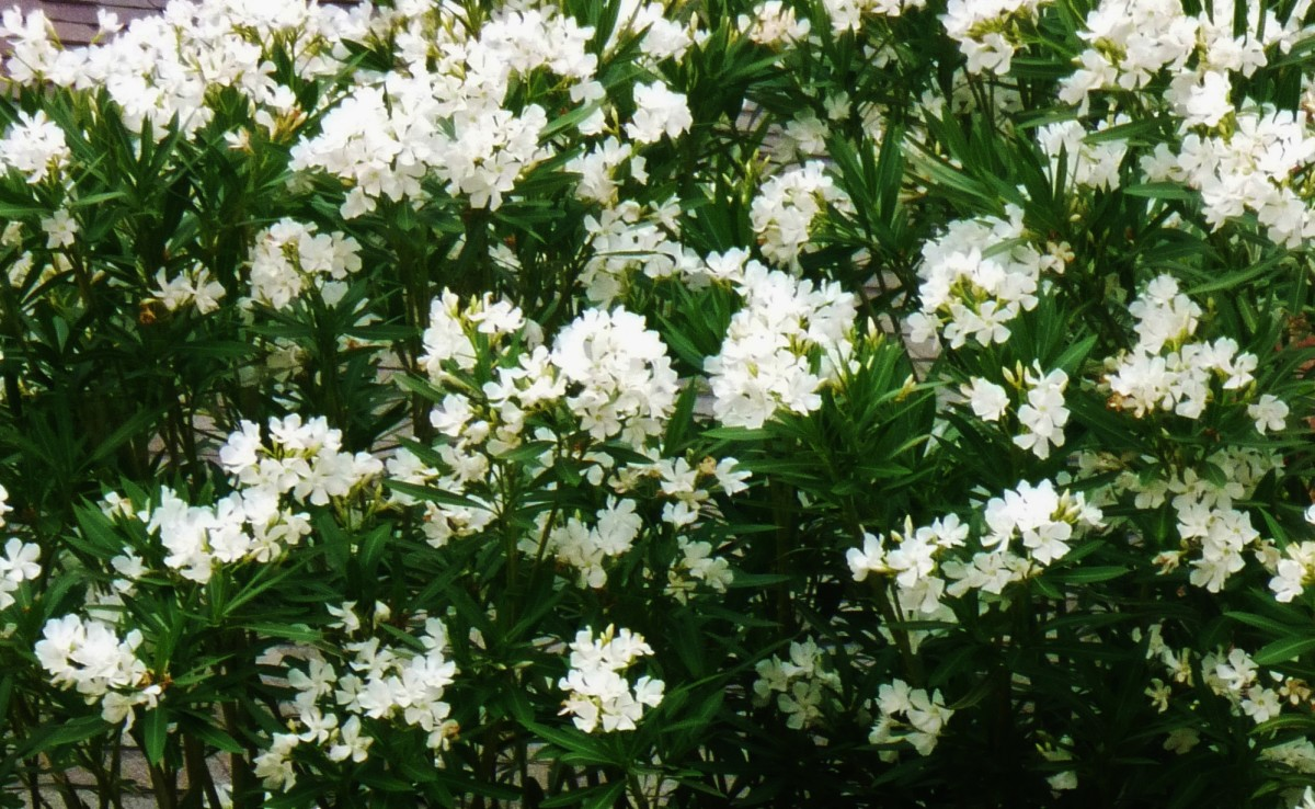 White blooming oleanders