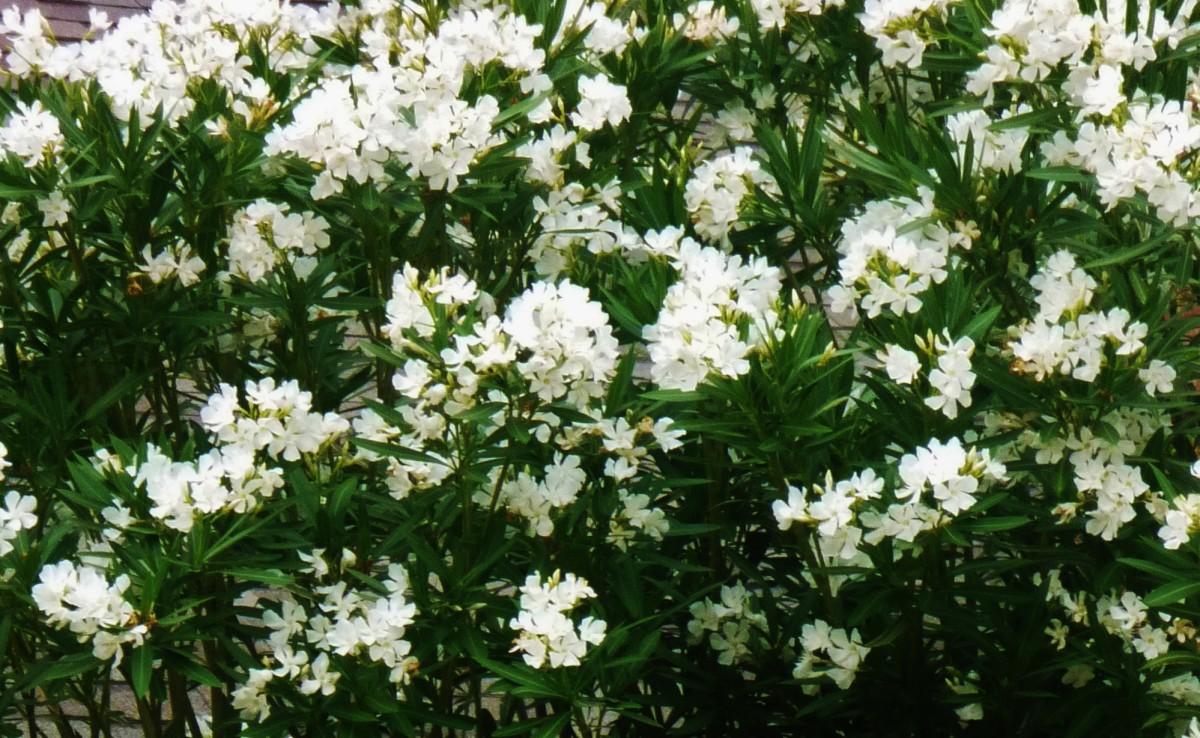 White blooming oleanders
