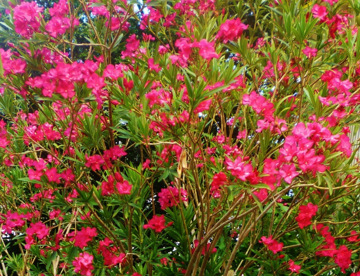 Blooming Oleanders