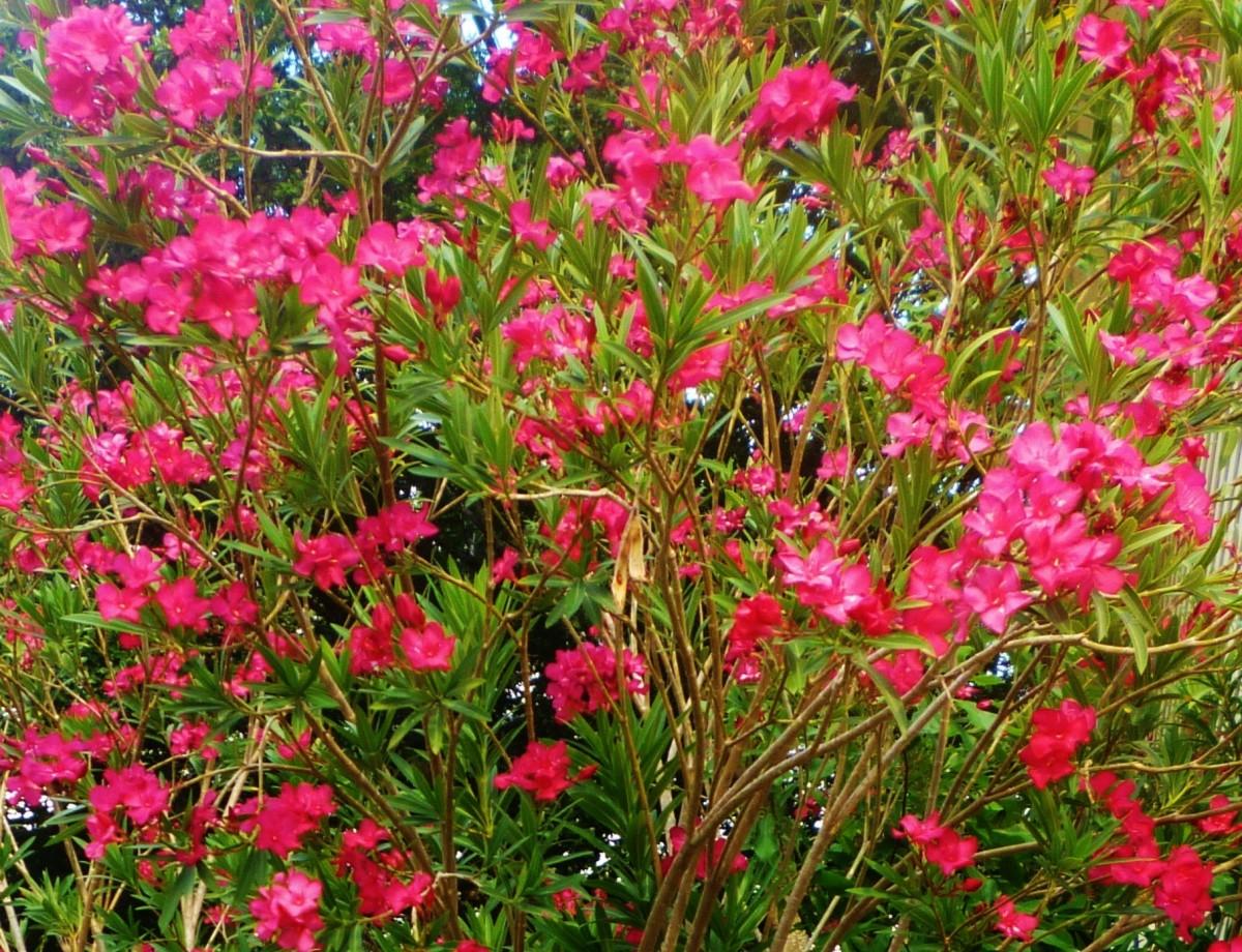 Blooming Oleanders