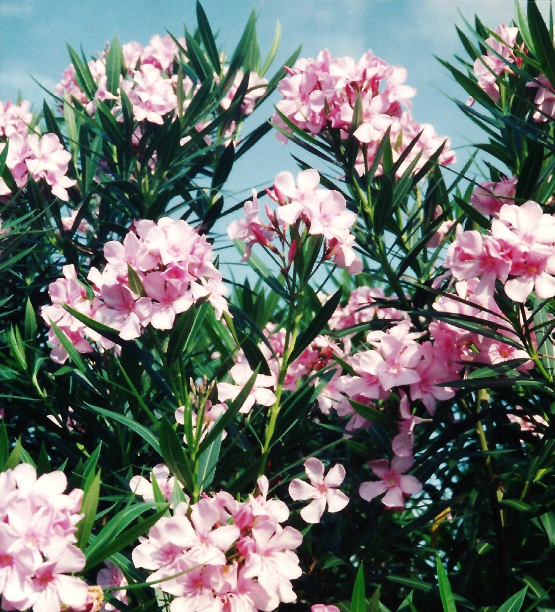 Our pink oleanders located at our previous home in Houston.