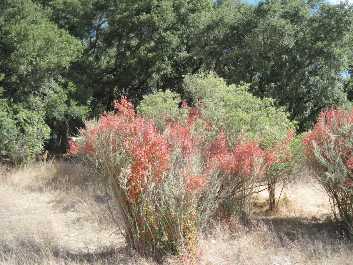I'm not 100% sure these red plants among what might be coyote bushes here are poison oak. In fact it all might be poison oak. Since the two are often companions and the coyote bush never turns reddish, I'd be careful when approaching it.