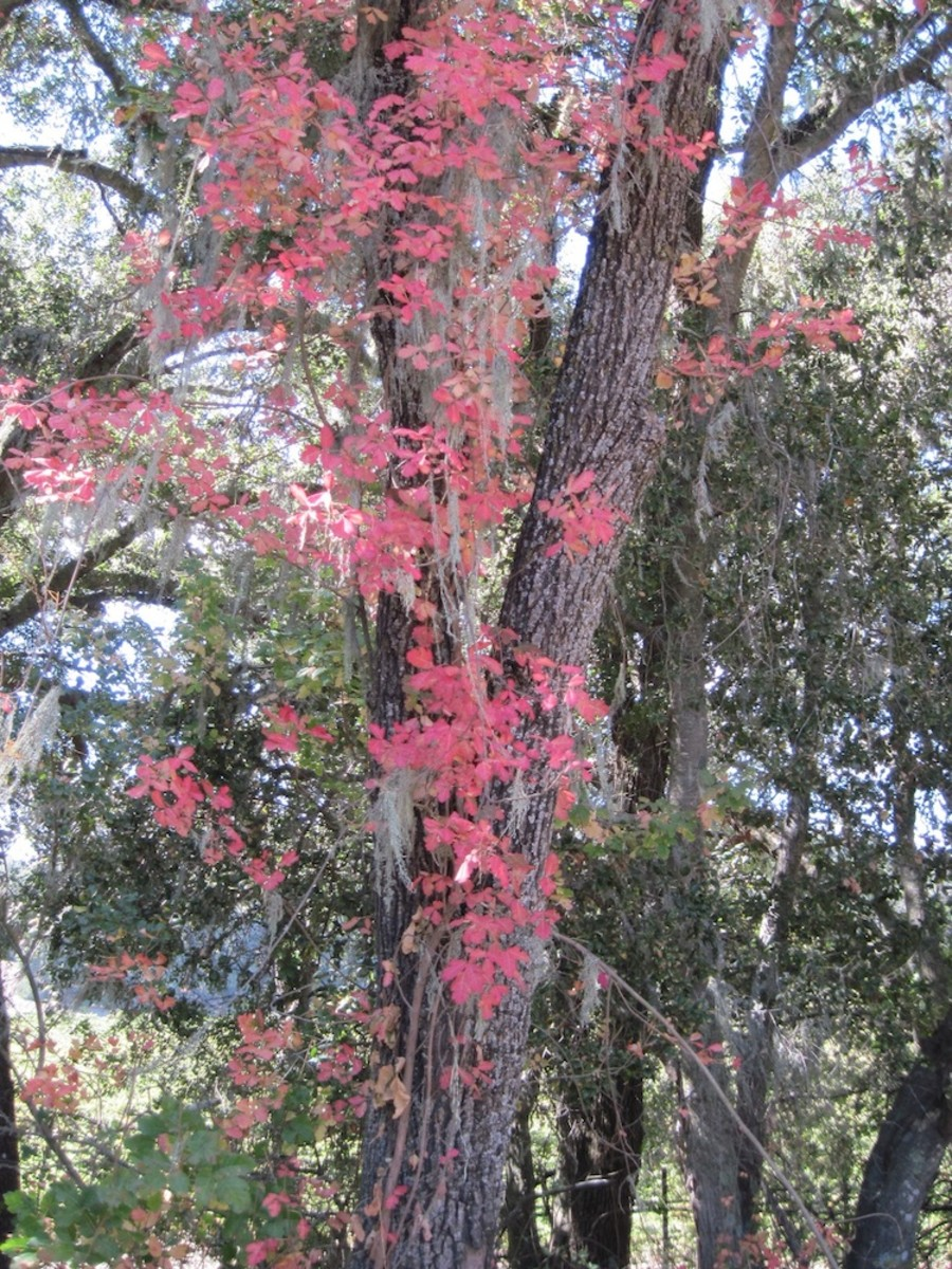 This poison oak is climbing even higher in this tree than you can see here.  Oaks and poison oak are friends and will often be close to each other or entwined. All these shots are in October on Oak View Road except the last two in this section.