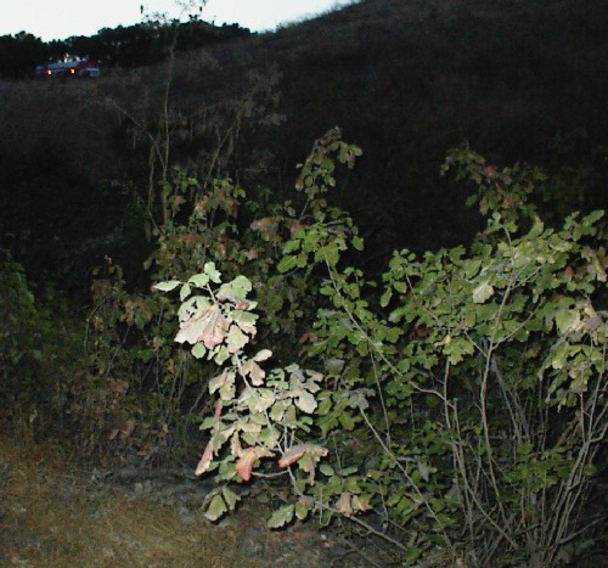 Poison Oak in July along Oak View Road in Templeton, California
