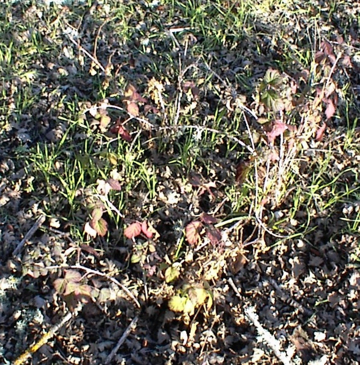 Be sure to click to see the details of these poison oak plants almost hidden where the oak leaves have fallen around them in February. This was taken on Jack Creek Road in Paso Robles.