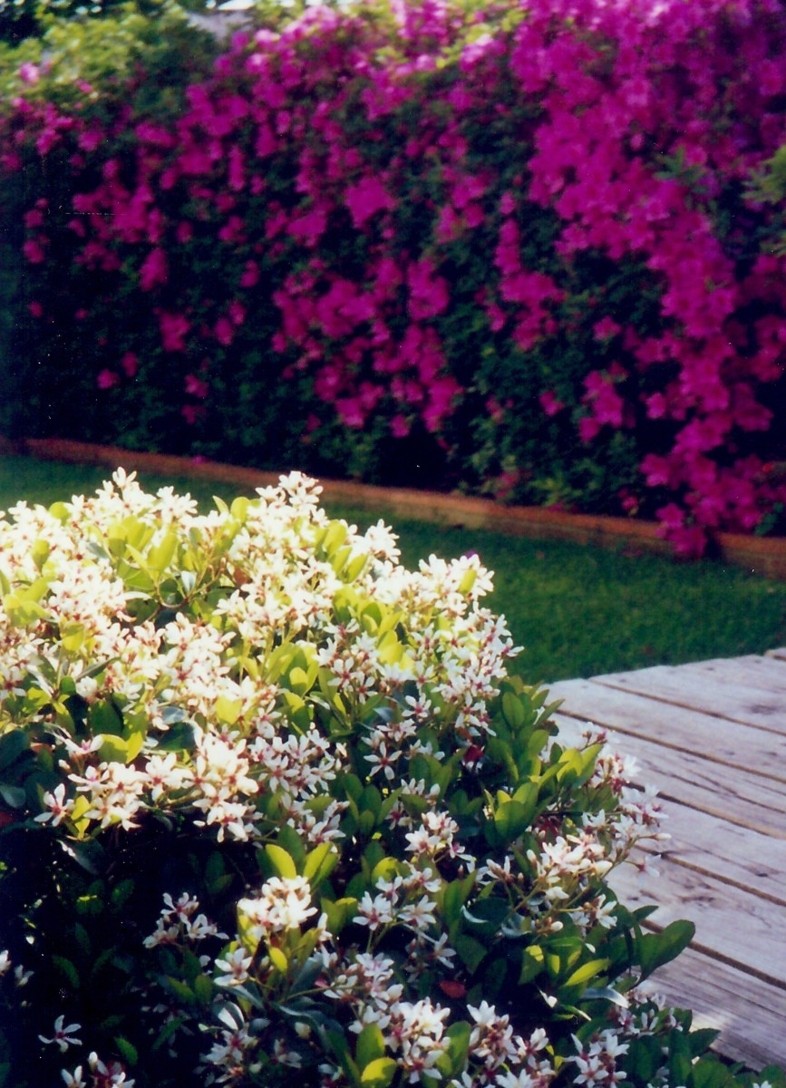 Azaleas and Indian Hawthorn blooming at the same time of year in our former garden.