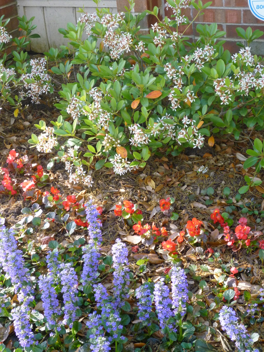 Newly planted Indian Hawthorn shrub with begonias and ajuga plants to the front.