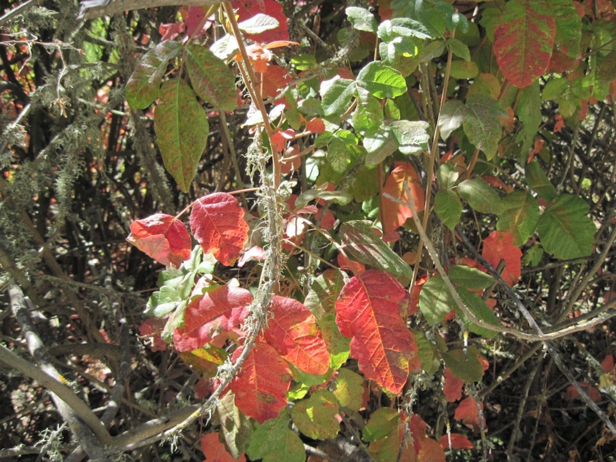 Poison oak is beautiful. No question about it. But I would advise against putting any in your Thanksgiving table centerpiece.