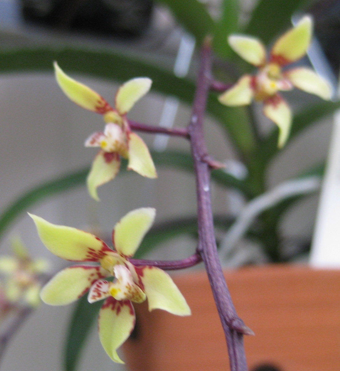 Plectochilus, third prize winner at the 2011 Sarcochilus Show in Taradale, Napier.