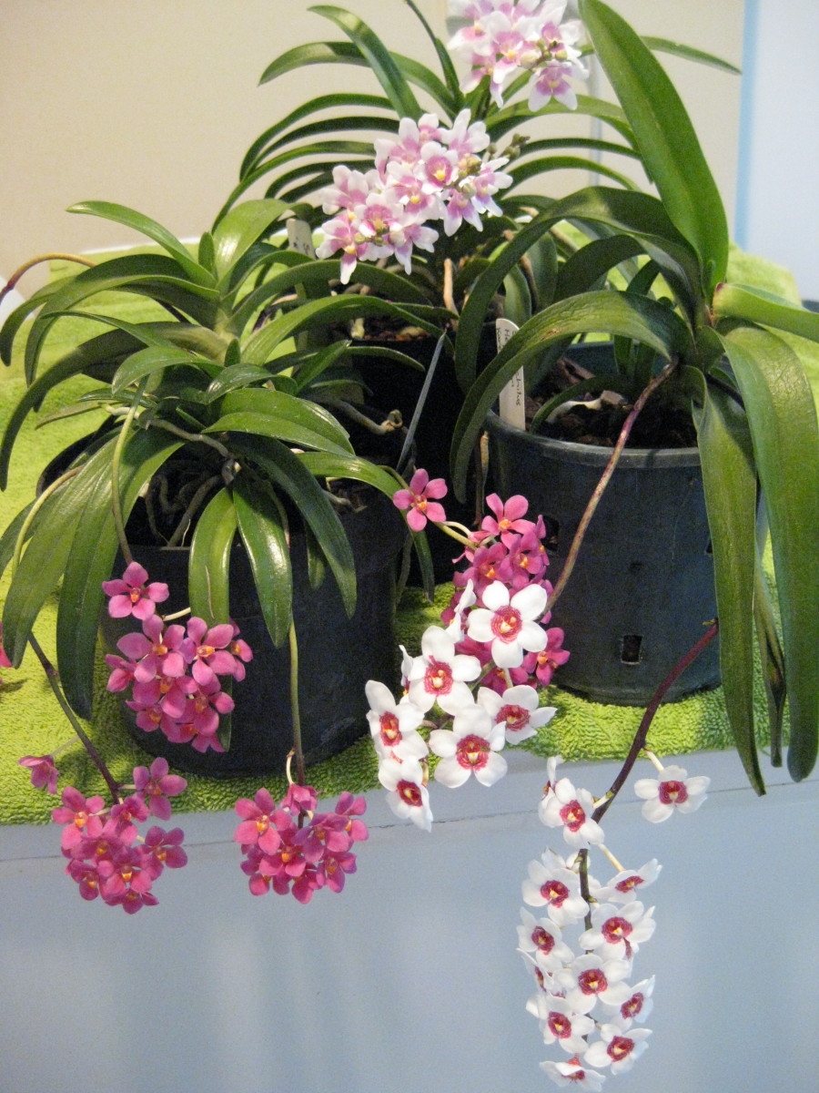 A selection of Sarcochilus orchids