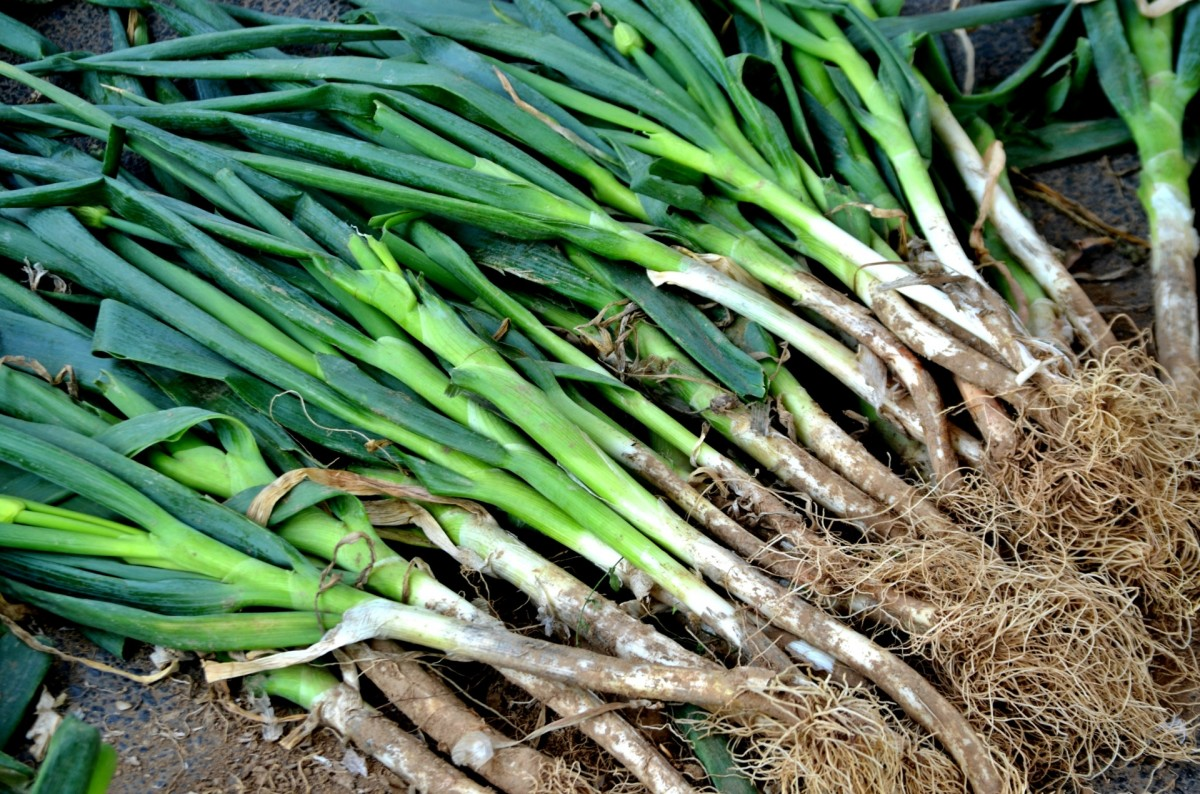 Freshly dug green onions.
