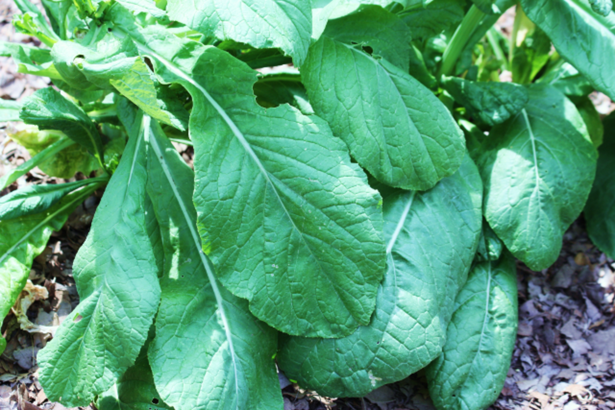 Larger spinach leaves from my garden.
