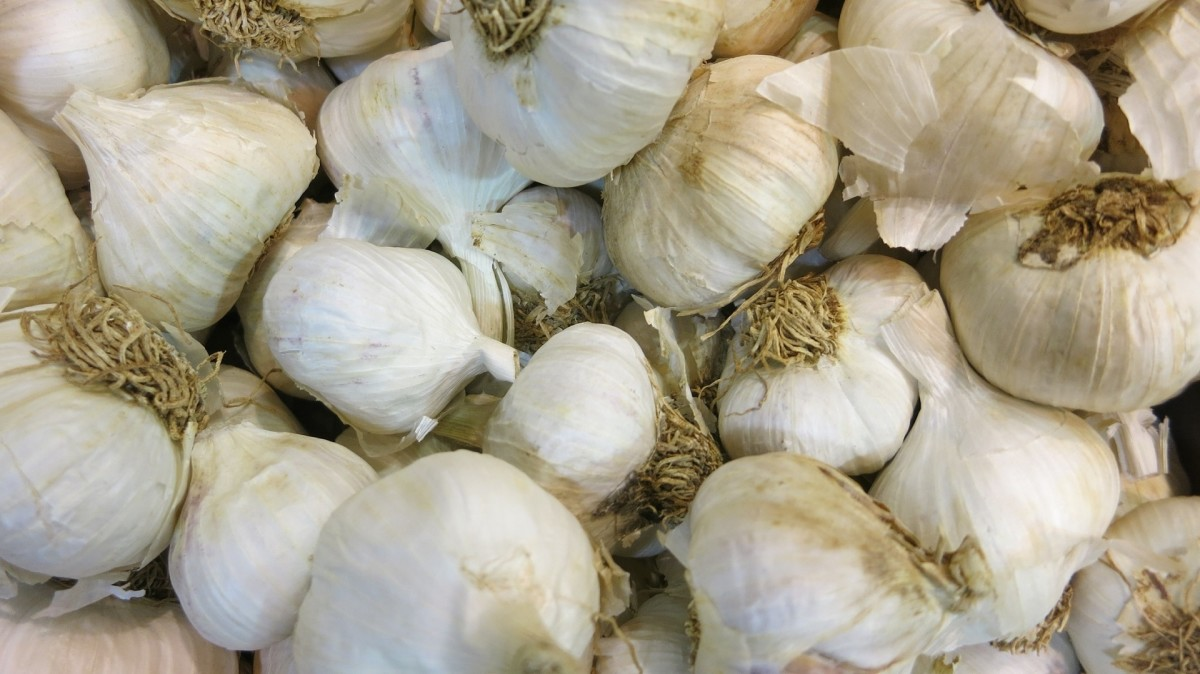 Freshly dug garlic cloves.
