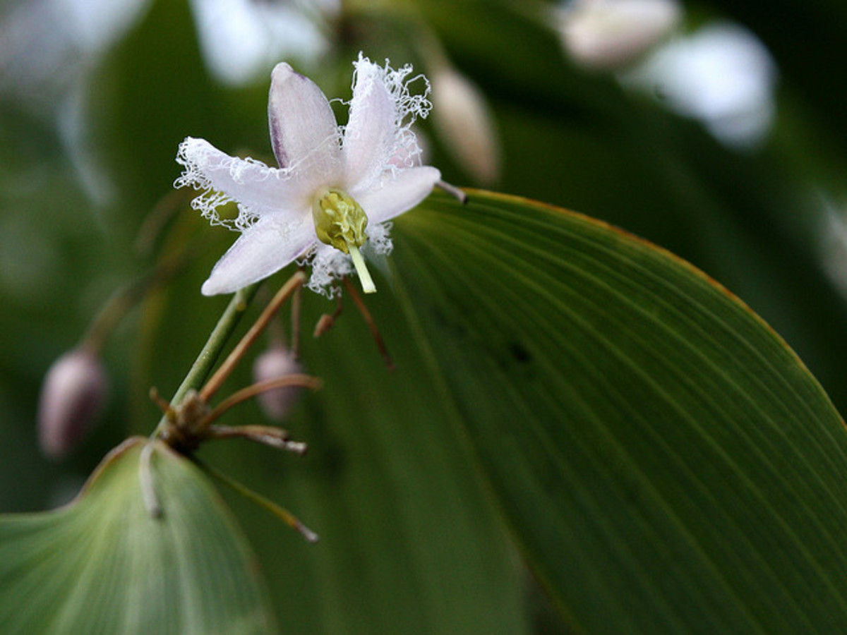 The flowers of Eustrephus latifolius have alternately-arranged fringed petals and petals without fringes.