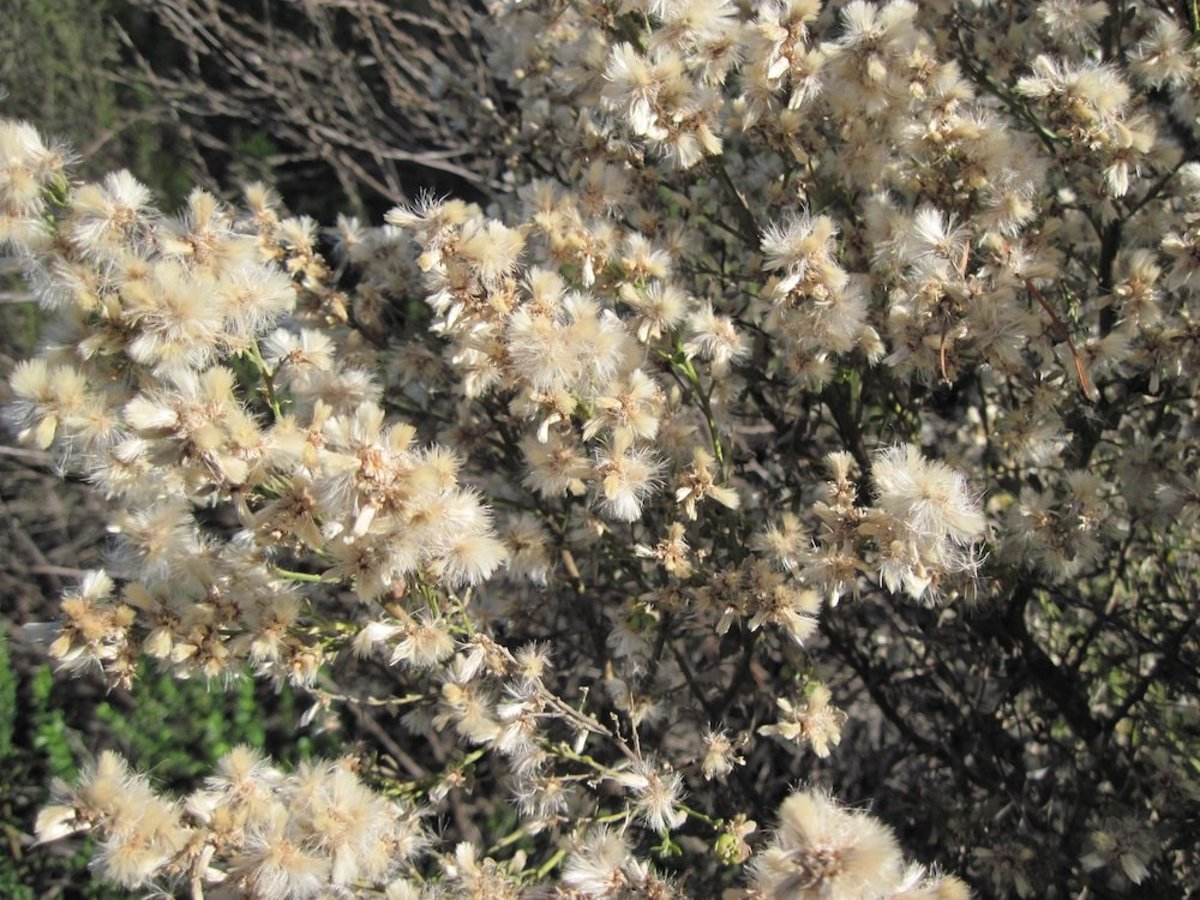 Close-up of blooming coyote brush getting ready to disburse its seeds, which will be carried by the wind to make new plants.