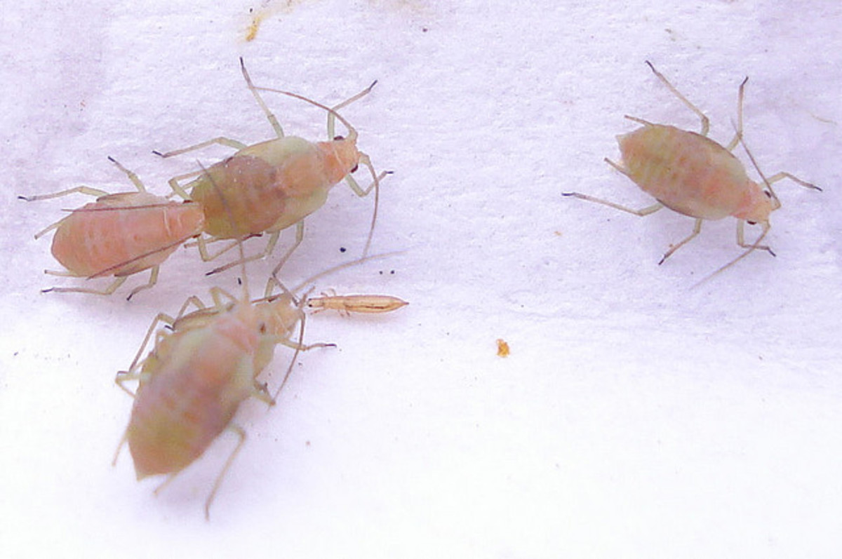 Aphids under magnification.