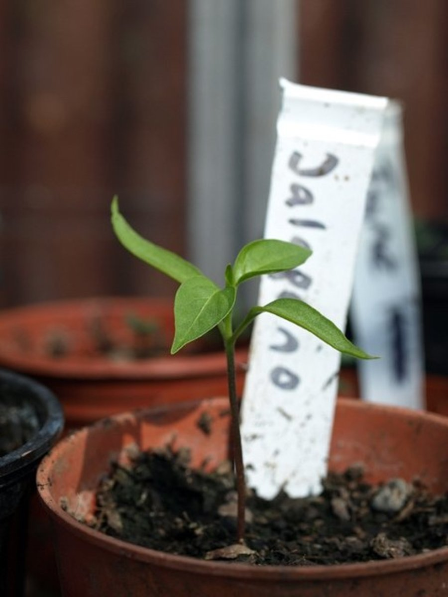 Jalapeño seedlings typically take between 14 and 21 days to germinate indoors.