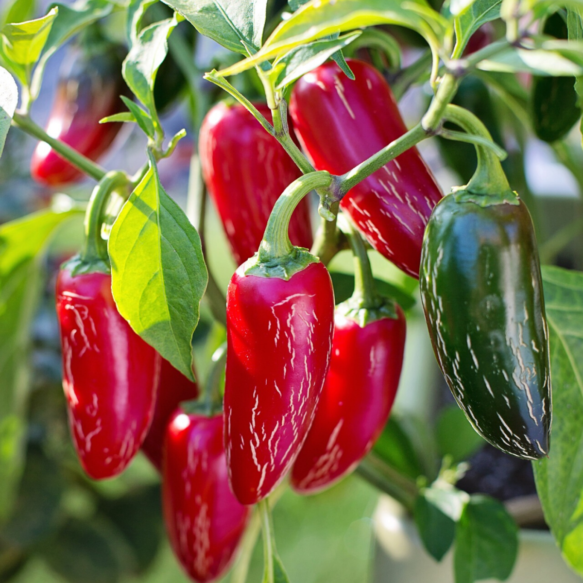 If you wait long enough to harvest, your peppers may turn red. Harvesting them when they are green, however, will promote new growth and leave you with more peppers overall.