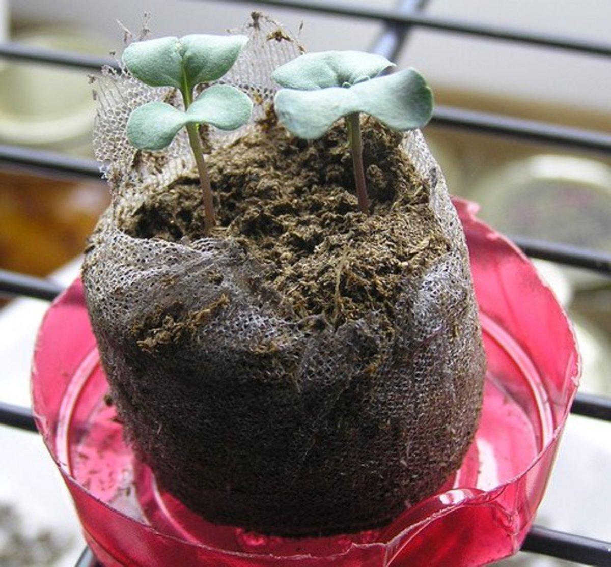 Broccoli seedlings in a starter pot.