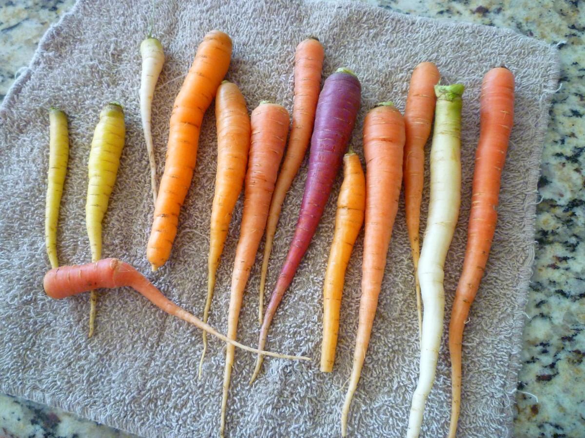Carrots Harvested from the Garden. © Joe Macho