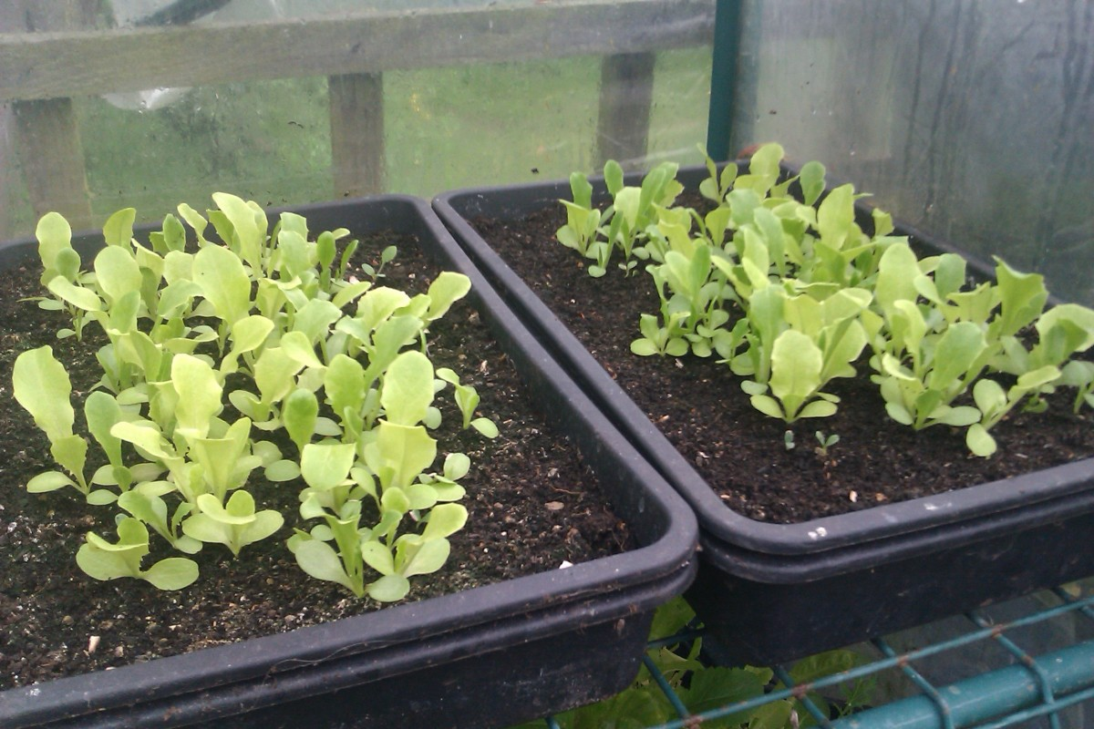 Young salad leaves in trays