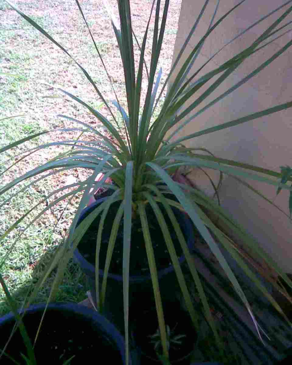 A junior cabbage palm tree.
