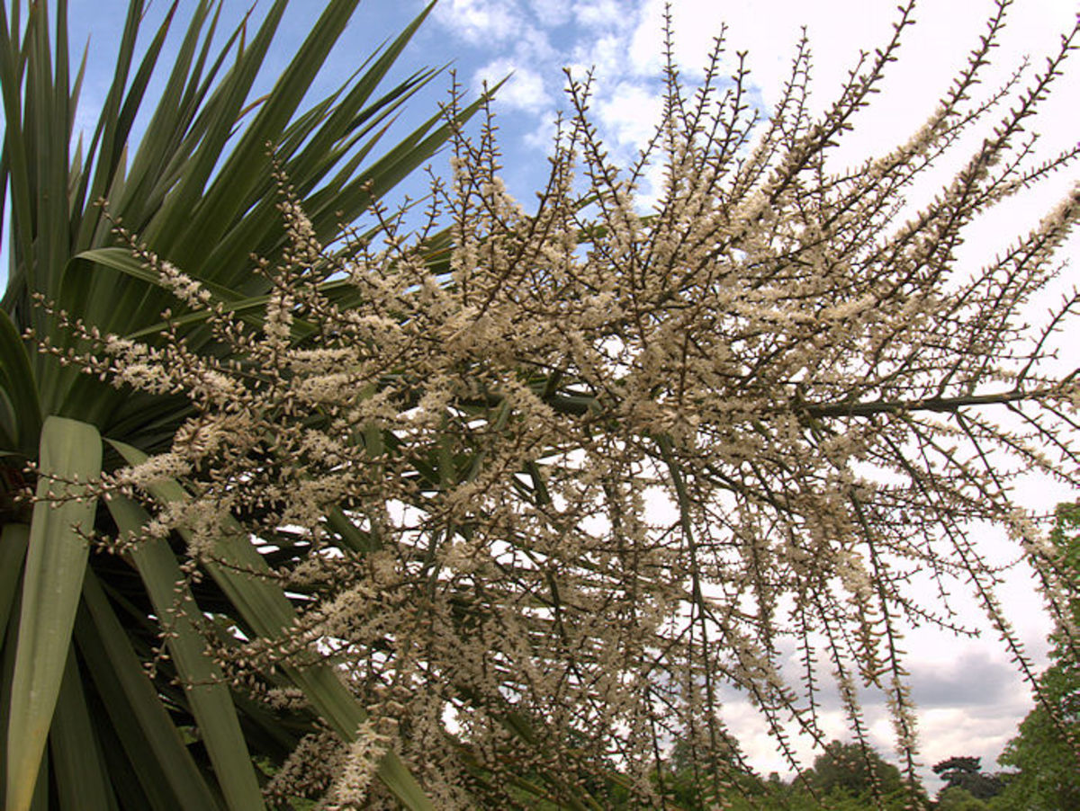 The flowers of the Cordyline australis.