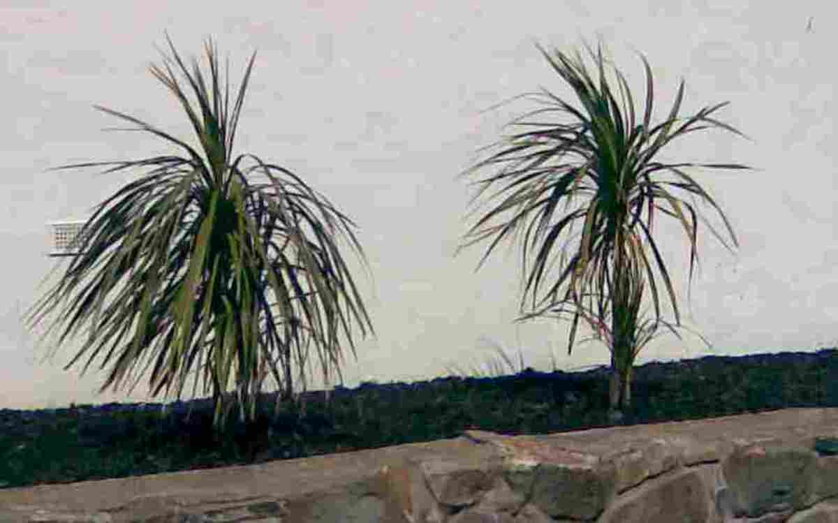 Two very young cabbage palm trees.