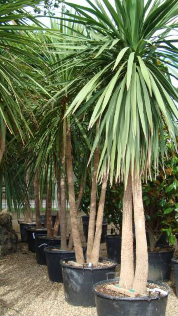 Some Cordyline australis in pots at the growers.
