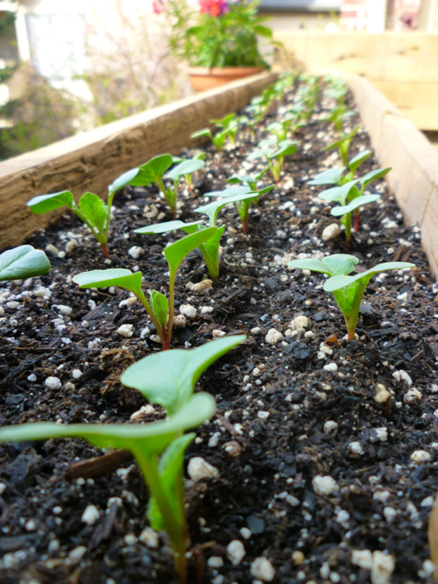 French Breakfast radish seedlings. ~1 week old.