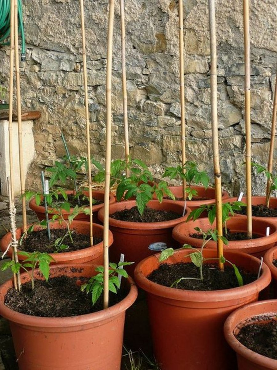 Young determinate tomato plants staked and prepared to grow in containers. Photo by Nociveglia. Please note that the photos in this hub belong to their respected owner and were made available for use through the Creative Commons Attribution License.