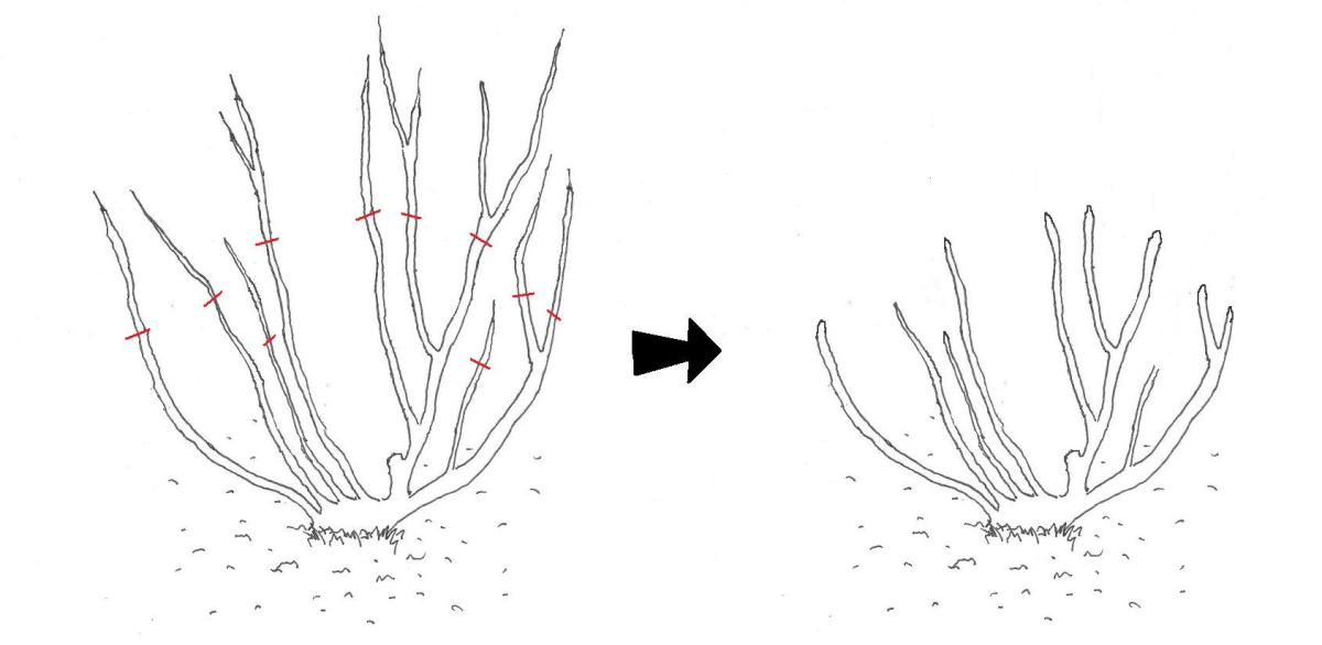 Autumn pruning stage 2: Before and after removal of approximately one third of remaining branches, as marked by the red lines.