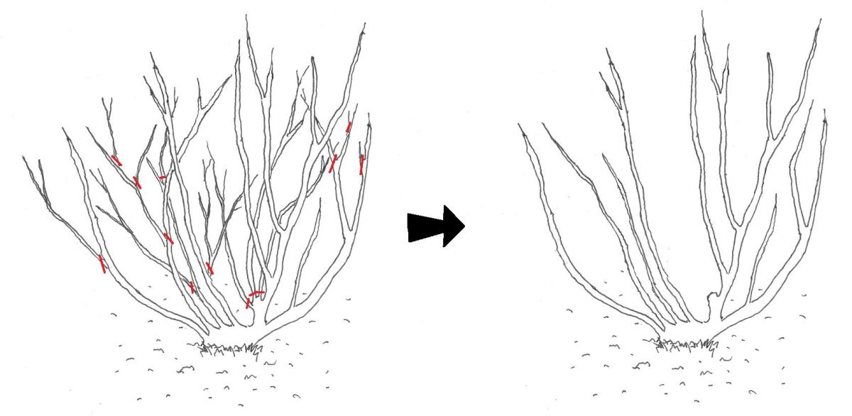 Autumn pruning stage 1: Before and after removal of crossed branches, thin shoots and dead branches, as well as thinning of internal branches, as marked by the red lines.