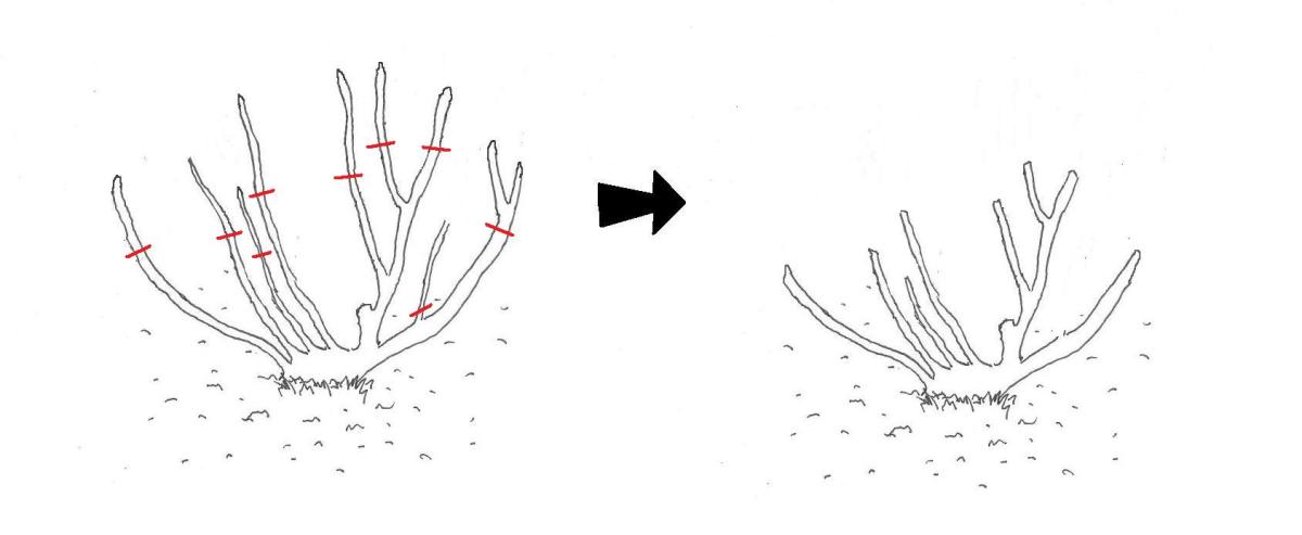 Early Spring pruning stage: Removal of any snow or frost damaged stems and further pruning back into shape of branches to a point where each branch is healthy and is at least 1cm (1/3 inch) thick.
