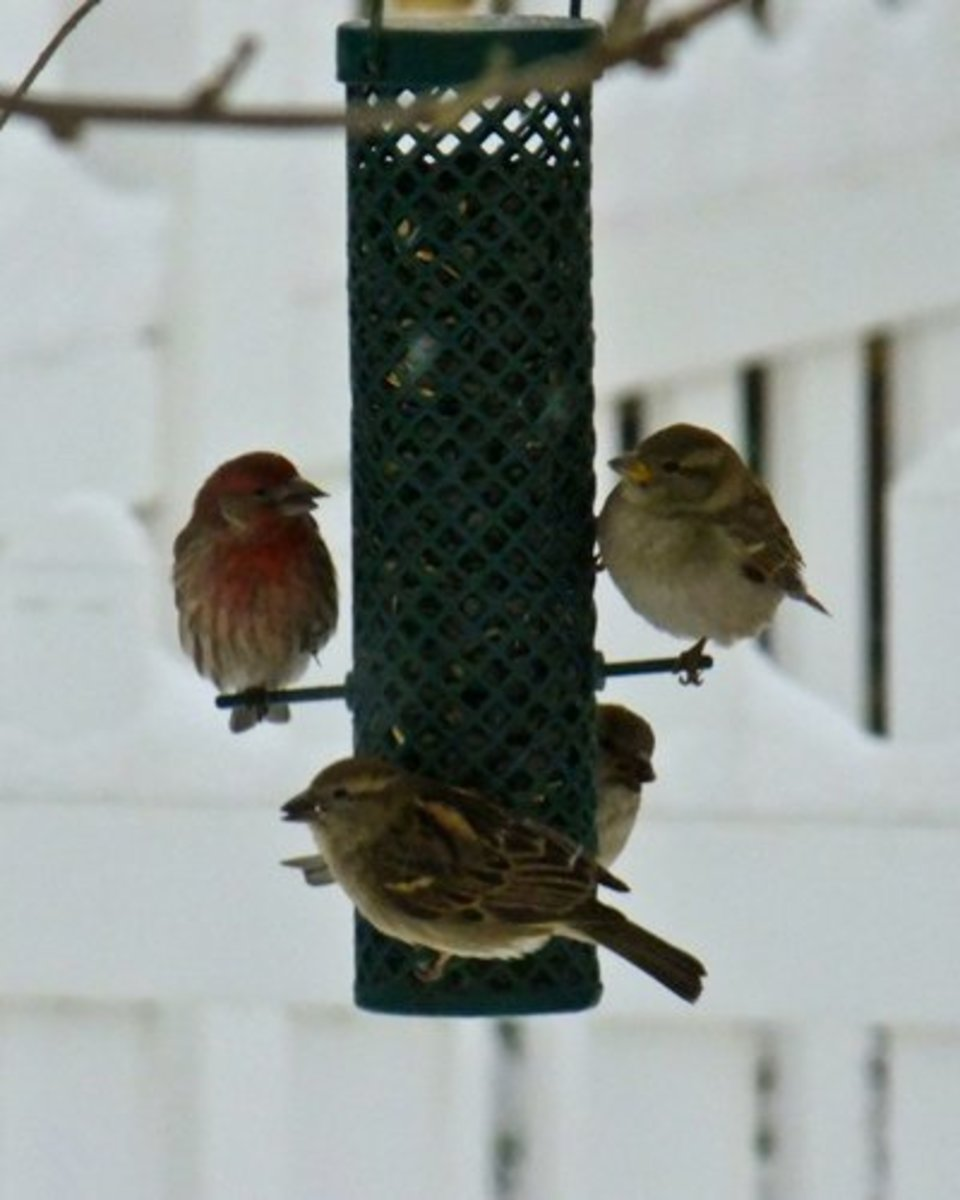 In winter, birds crowd the feeders as snow covers their food supplies.