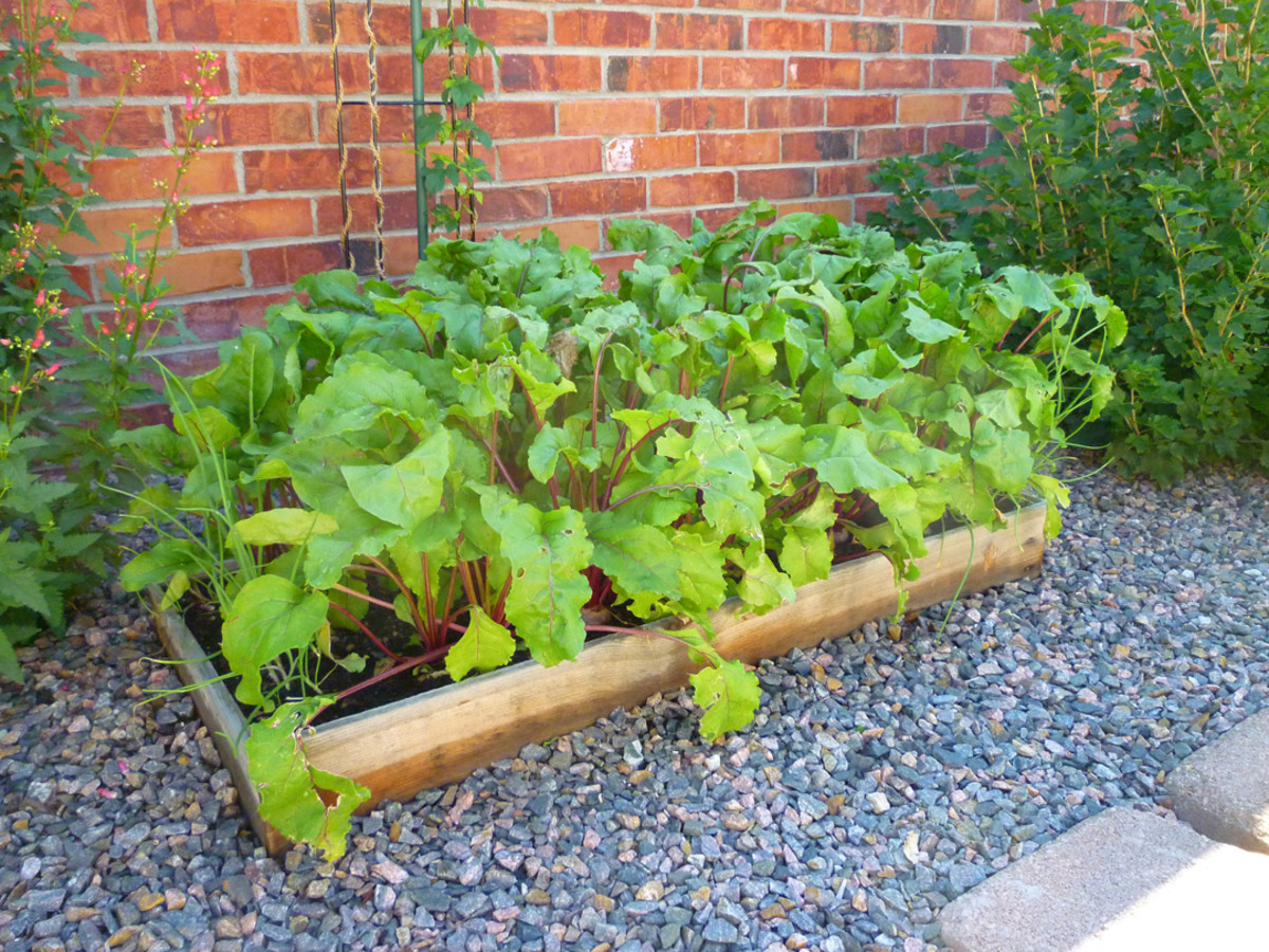 Bull's Blood Beets growing in a raised garden container.