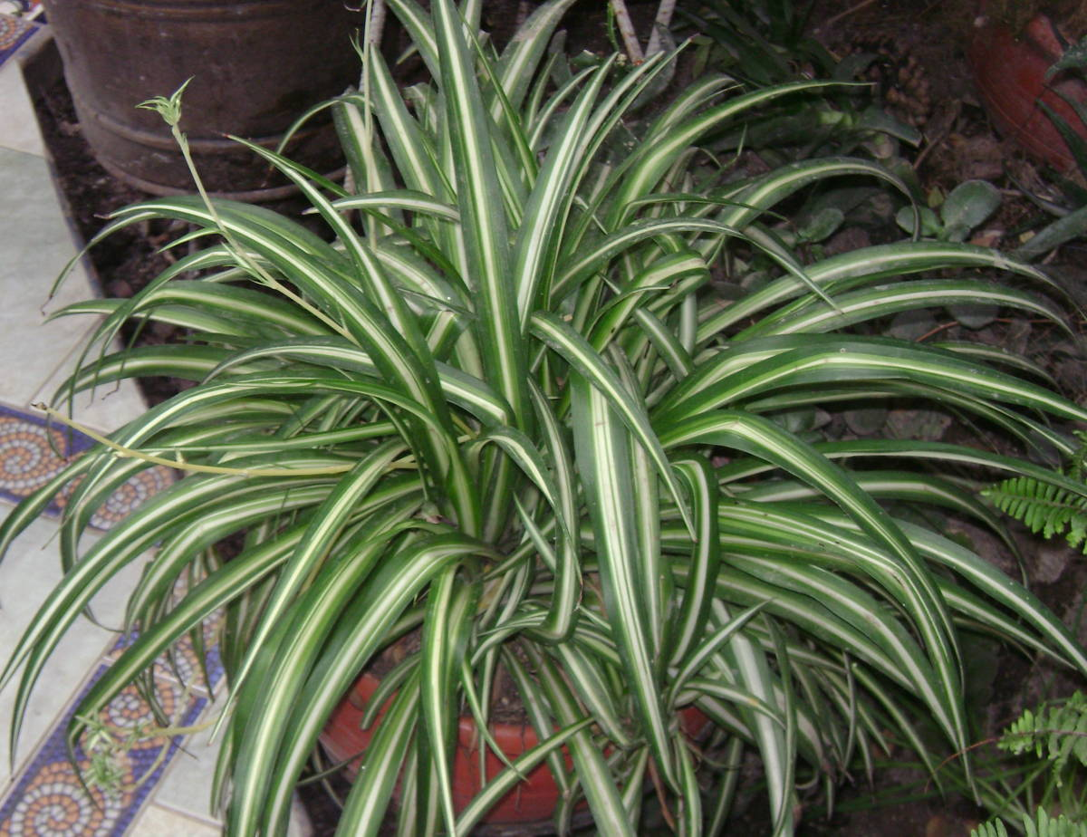 The Spider Plant grows full and lush if well cared for.
