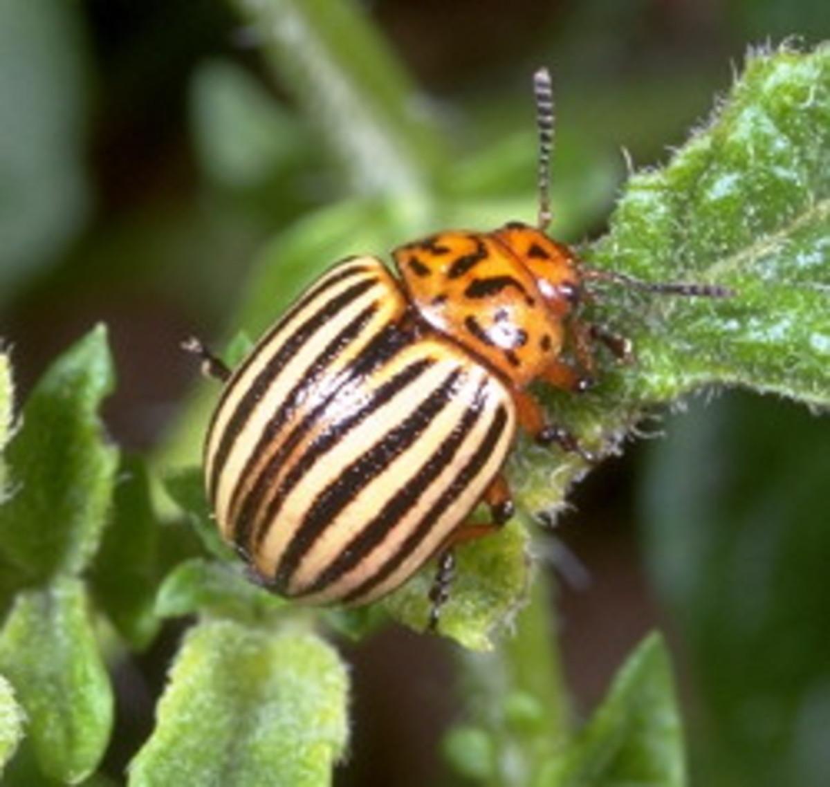 Mature Colorado Potato Beetle