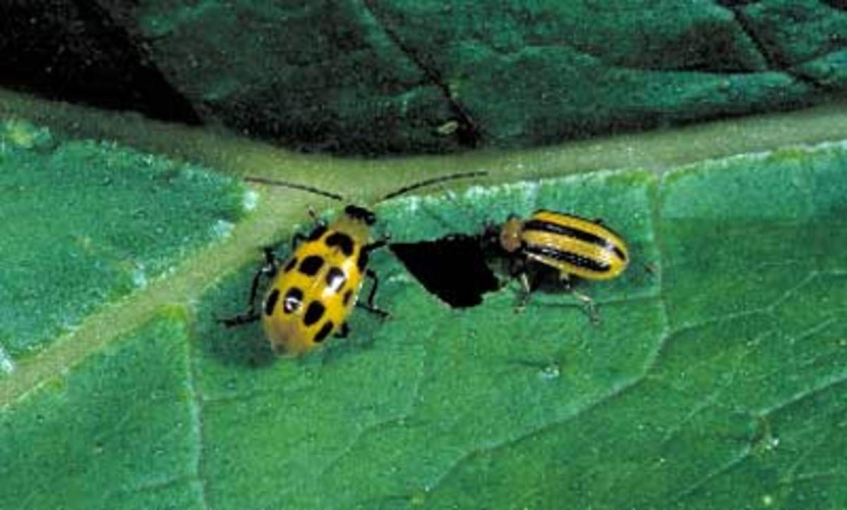 The spotted and striped cucumber beetle is another primary foe of the summer squash.