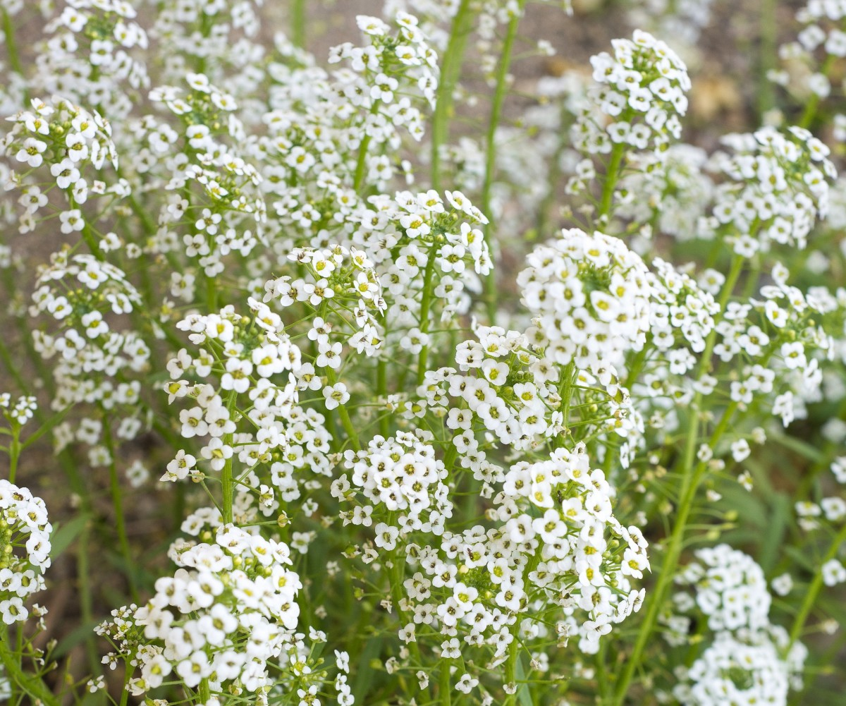Though commonly thought of as a complementary plant, baby's breath also works great by itself, especially in bunches.
