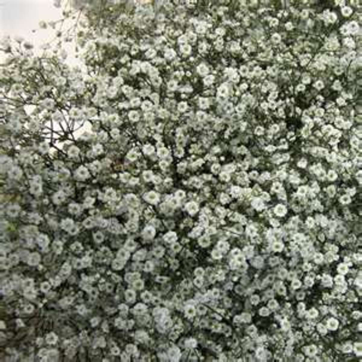 Baby's breath is a low-maintenance plant, generally just requiring some watering and occasional fertilizing.