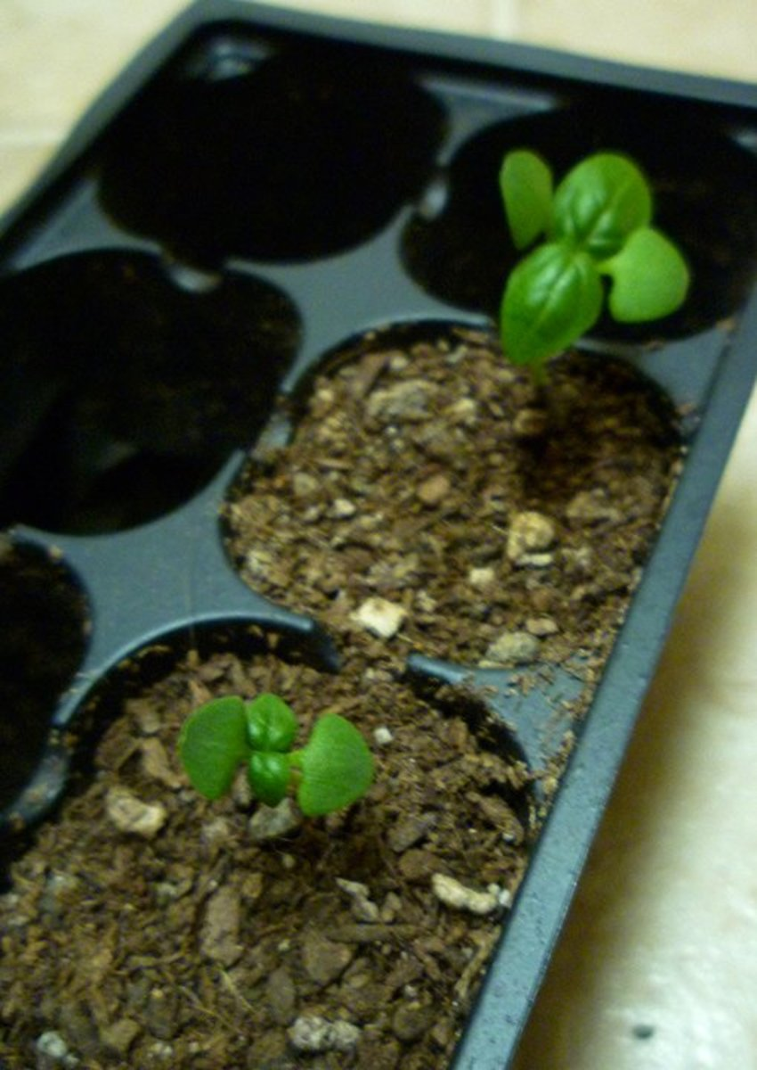 Sweet Basil Seedlings. Joe Macho