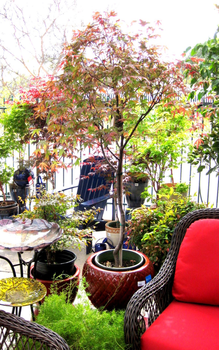 A potted Japanese maple between two chairs creates an intimate space on an open patio.