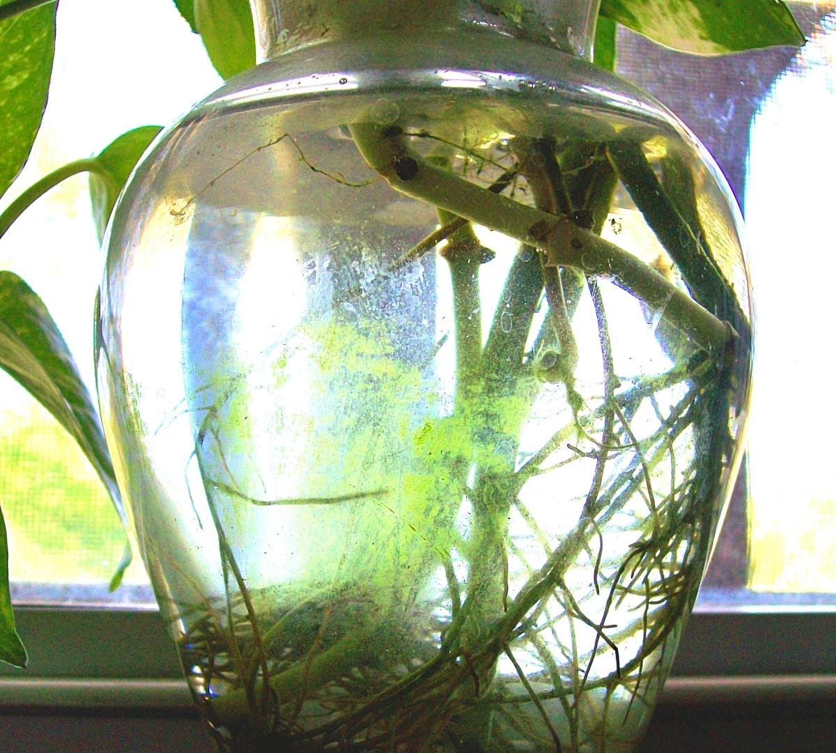How To Grow Pothos Devil S Ivy In Water Dengarden